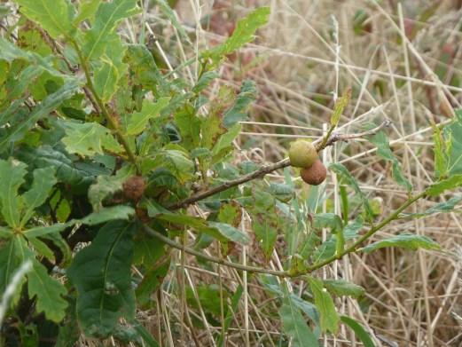 P1010682 Oak Gall (2)