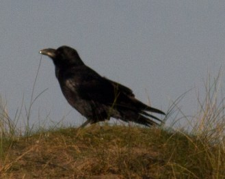 002 Raven on sand dune_edited-2
