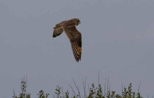 007 short Eared owl 11th Oct 2015_edited-2