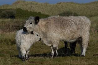 009 British White Cow and Calf_edited-2