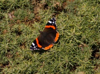 019 Red Admiral on gorse_edited-2