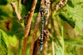 20150927_0042 SOUTHERN HAWKER