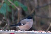 IMG_1331 Female Bullfinch on seat