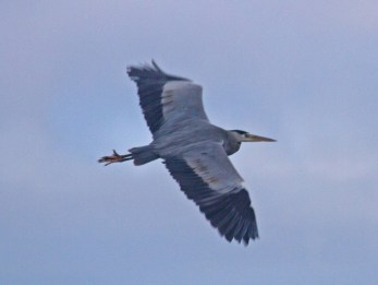 IMG_1361 Heron over long pond