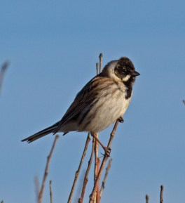 IMG_1532Male Reed Bunting