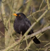 IMG_1560 Male Blackbird
