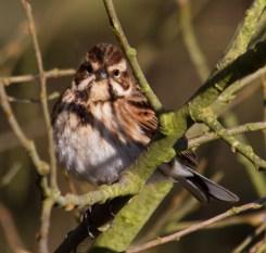 IMG_1571 Female Reed Bunting