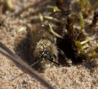 IMG_1701 Worker Bee excavating sand from nest site edit