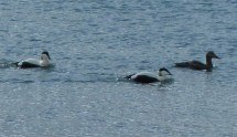 P1010825 Two male and one female Eider duck