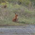 P1010840 Fox having a good scratch