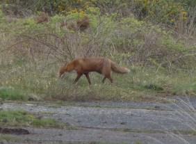P1010842 Fox walking off
