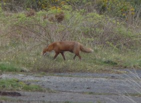 P1010842 Fox walking off