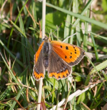 IMG_1921 Small Copper Butterfly