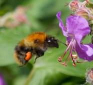 IMG_1940 Bumblebee with orange pollen sack