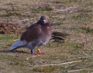 IMG_2026 Resting Racing Pigeon being harassed by a Meadow Pipit