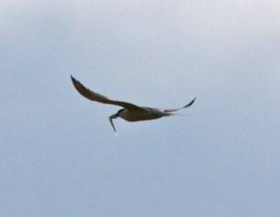 IMG_2209 Tern with sand eel