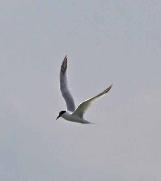 IMG_2211 Tern looking for sand eels
