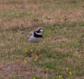 IMG_2302 Ring Plover