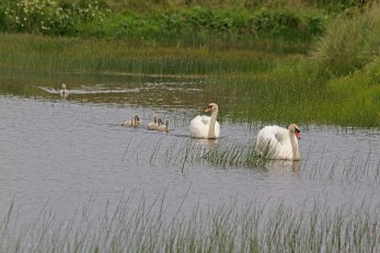IMG_2413 Swans and six Cygnets