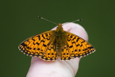 Small Pearl Bordered Fritillary on Jims Finger
