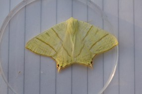 IMG_2395 Swallow tailed moth