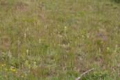 IMG_2468 Yellow Bartsia on ground turned over during fence erection