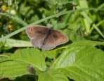IMG_2543 Meadow Brown