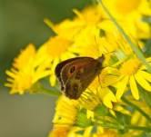 IMG_2650 Female Gatekeeper on Ragwort