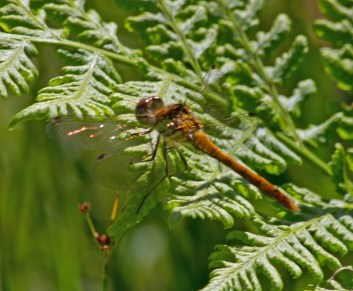 IMG_2735 Common Darter