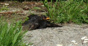 P1010984 Relaxing Male Blackbird