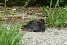 P1010986 Relaxing Male Blackbird
