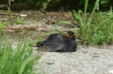 P1010986 Relaxing Male Blackbird