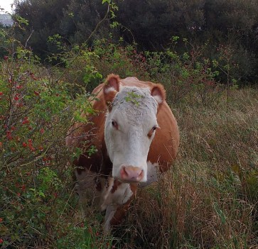 cow-eating-rosehips-3