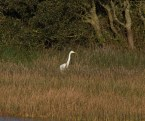 img_3352-large-white-egret-on-long-pond
