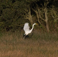 img_3355-large-white-egret-on-long-pond