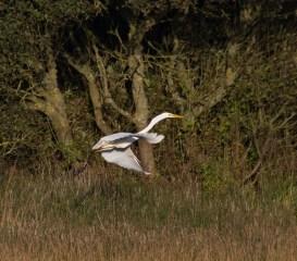 img_3356-large-white-egret-on-long-pond