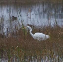 img_3422-large-white-egret