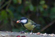 img_3429-great-tit-with-peanut