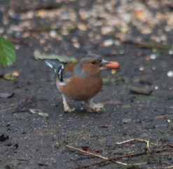 img_3459-chaffinch-with-fungus-on-leg