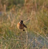 img_3465-stonechat-balancing-on-stem