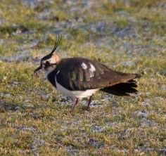 img_3472-lapwing-with-worm