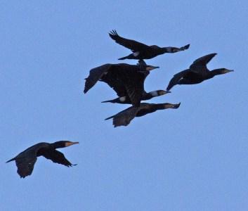 IMG_3626 Flock of Cormorants