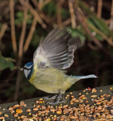 IMG_3664 Blue tit taking seed