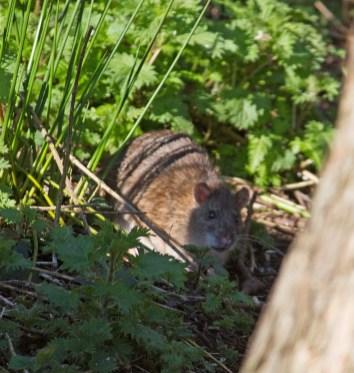 IMG_3831 Rat at feeders - Copy