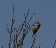 IMG_3952 Bluetit feeding on Willow - Copy