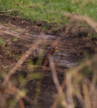 IMG_3956 Mating Male Blackbird - Copy