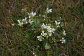 IMG_4024 Common scurvy Grass - Copy