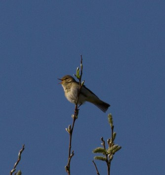 IMG_4055 Willow Warbler singing