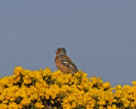 IMG_4060 Male Chaffinch singingjpg - Copy