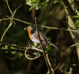IMG_4109 Robin with food for it's mate